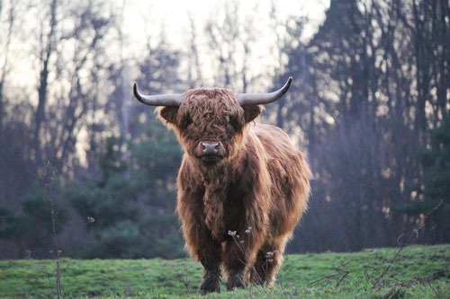 Scottish Highland Cattle Index Pages