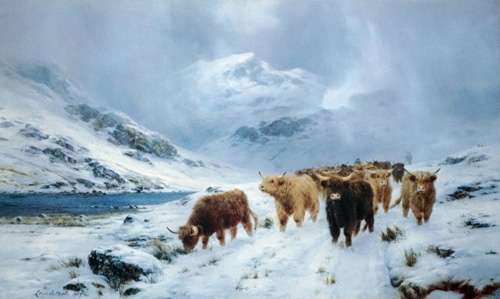 Highland Cattle Colours